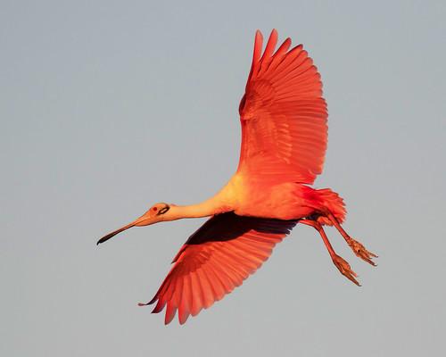 outdoor seaside dennis adair shore sea sky water nature wildlife 7dm2 7d ii ef100400mm bay canon florida bird bif flight