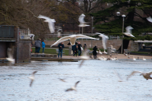 Swans coming in for landing, Stratford