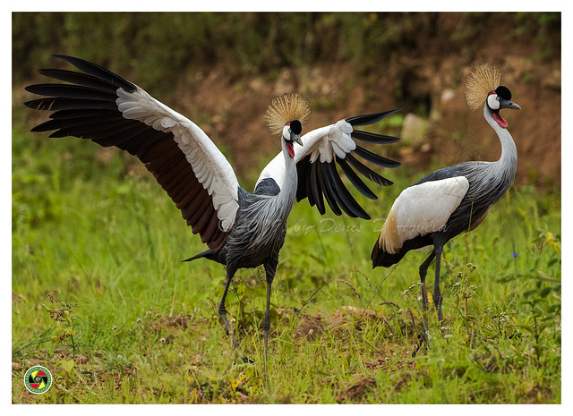 Crested Cranes - Balearica regulorum