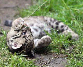Clouded leopard cub 520
