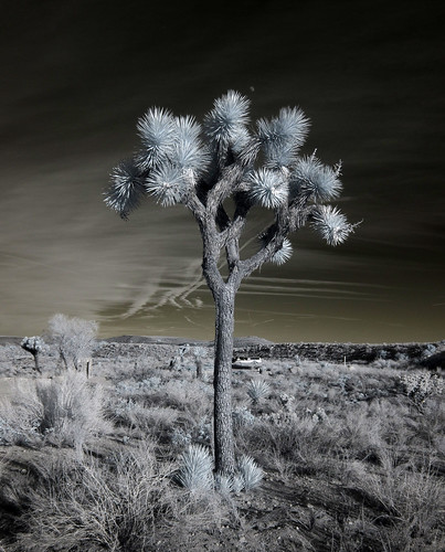 Joshua Tree at Pioneertown Mountains Preserve (0549)