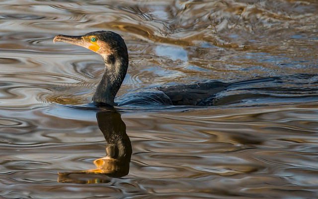 a photo of a cormorant or a photo of water reflections ?