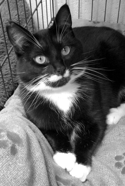 Angie the Tuxedo Cat ~ Black & White