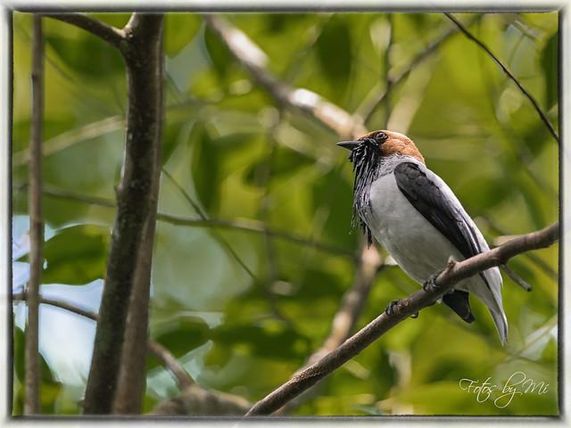 Bearded bellbird (Procnias averano)_FBM-2351