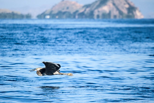 Freedom. Exotic bird flying over sea water in Flores, Indonesia.