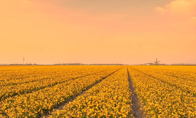 The Sea of Daffodils.