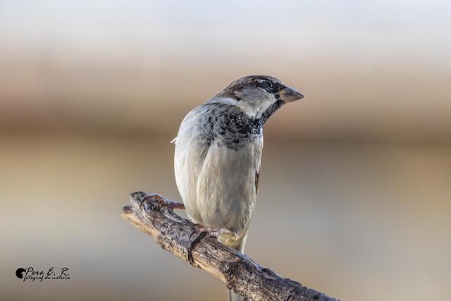 _D199426-House sparrow-Pardal comú-Gorrión común (Passer domesticus)