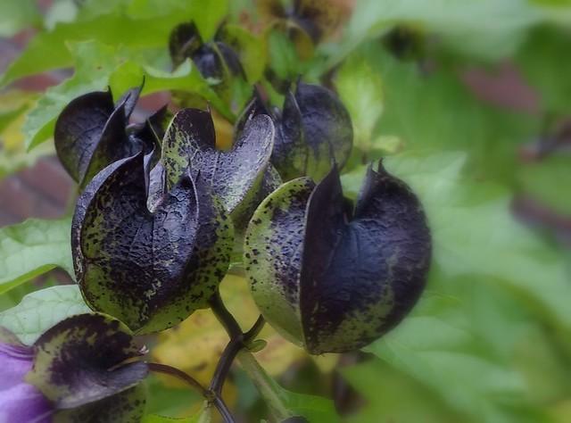 Zegekruid (Nicandra physalodes)