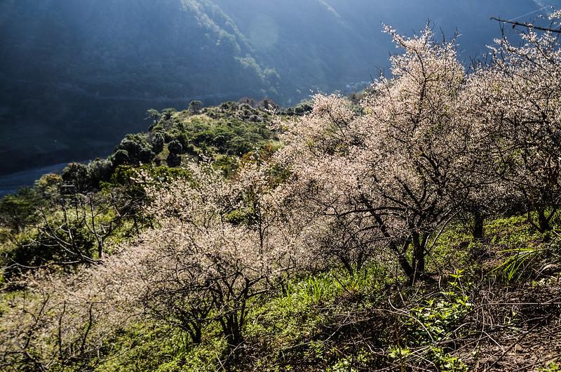 梅在良楠山 (4)