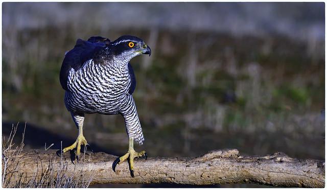 Azor (Accipiter gentilis)_191124_101735_El Taray_02_01
