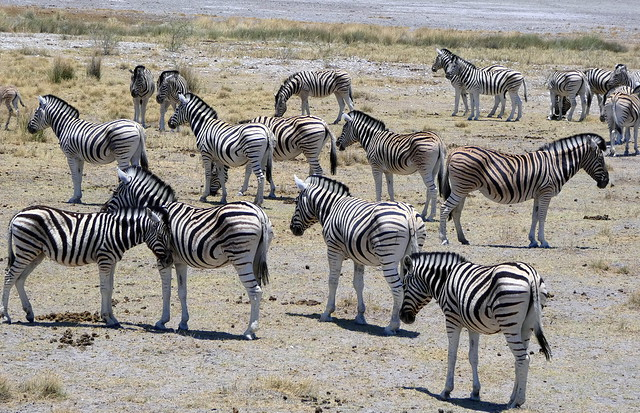 Zebras Galore