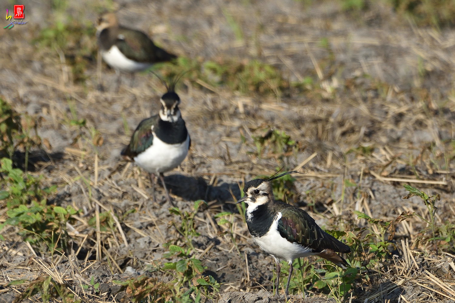 Northern_Lapwing_7896