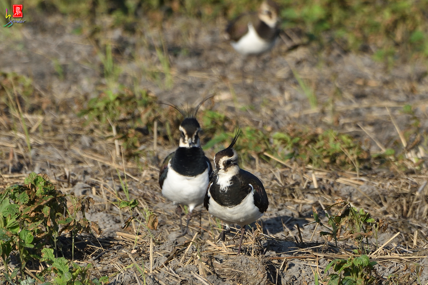 Northern_Lapwing_7804