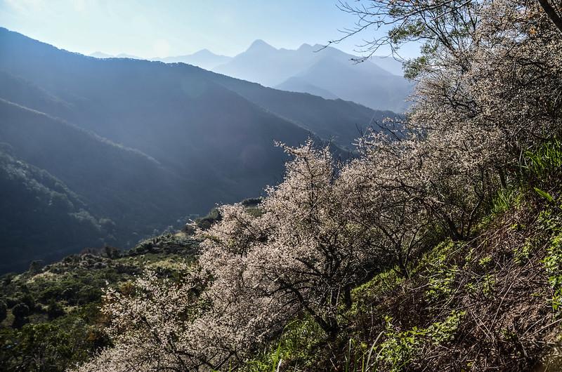 梅在良楠山 (2)