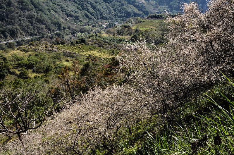 梅在良楠山 (9)