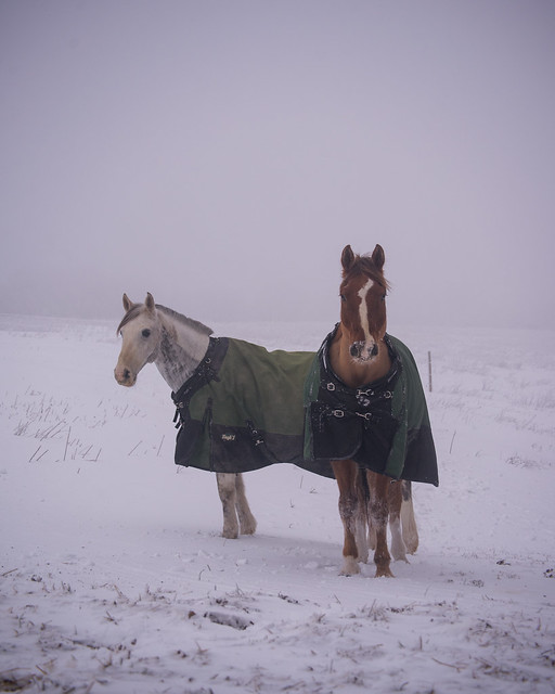 202001095 Horses and Dogs in Snow_95
