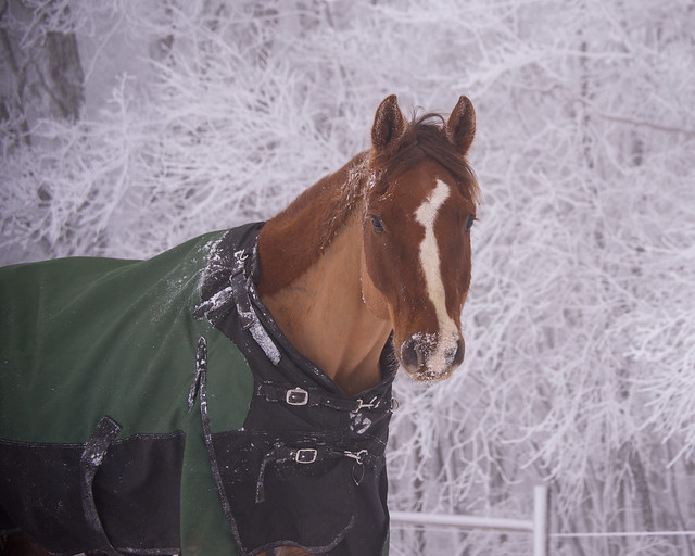 202001095 Horses and Dogs in Snow_341