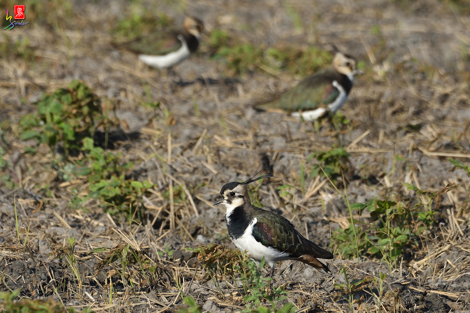 Northern_Lapwing_7903