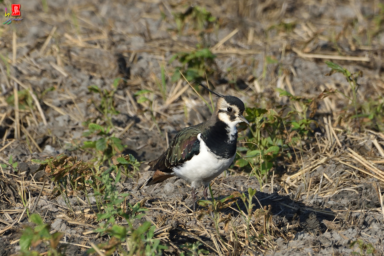 Northern_Lapwing_7900