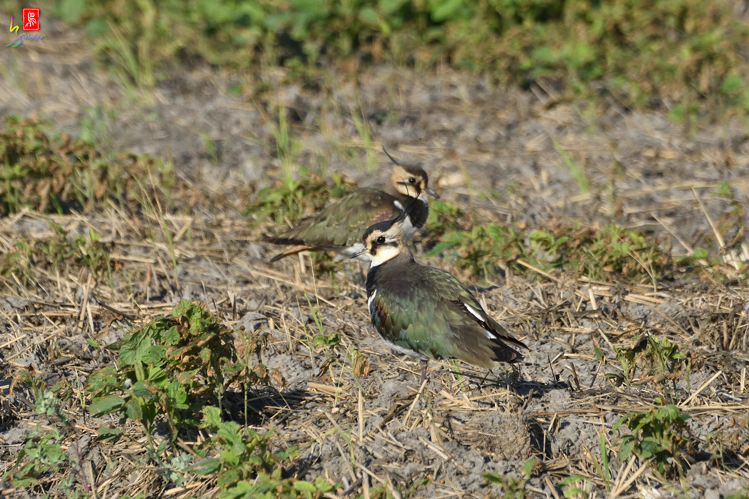 Northern_Lapwing_7843