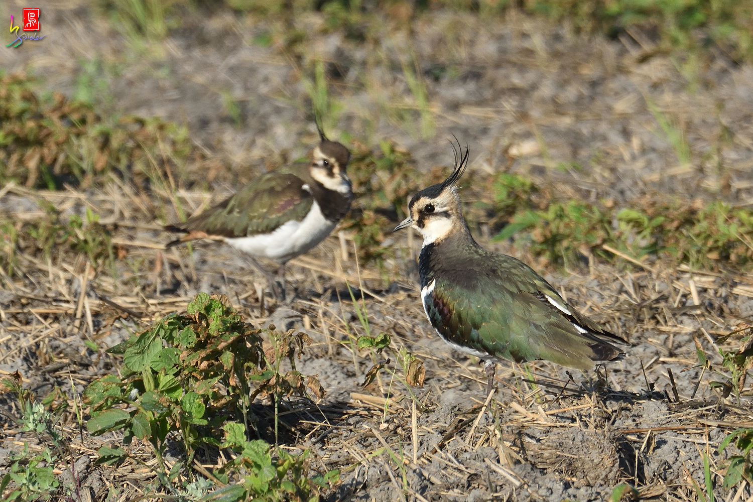 Northern_Lapwing_7833