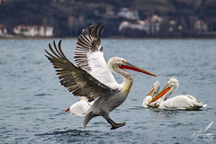 A flying pelican gets ready for landing on the water by extending his feet and reducing speed. It is in early January that the large bird seems to hit the brakes for a smooth touchdown on the lake Orestiada in Kastoria, northern Greece.  Photograph To Be Continued…  This is the largest of pelican species, called Dalmatian Pelican (Pelecanus crispus) with curly nape feathers, grey legs and greyish-white plumage.
