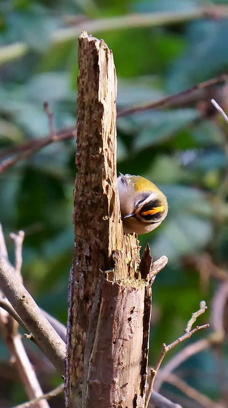 Firecrest [distant]