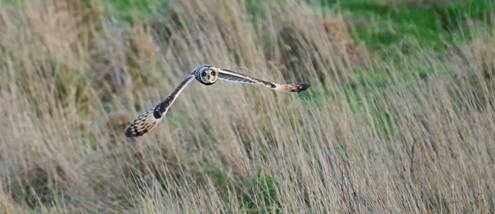 Short-eared Owl in fading evening light...