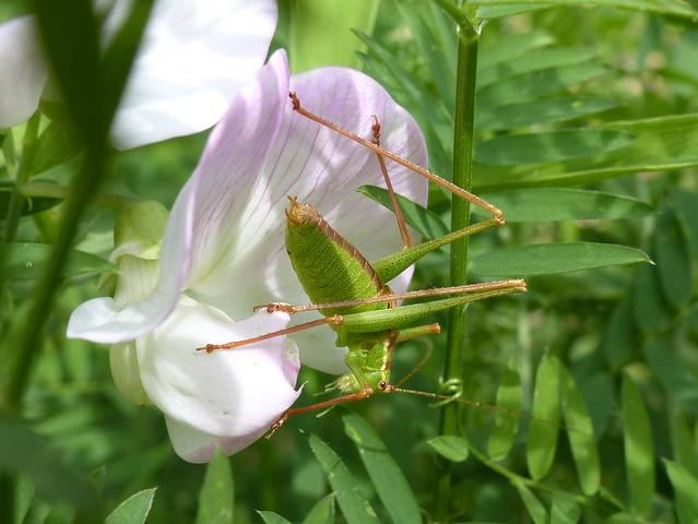 Speckled Bush Cricket On Lathyrus - Punktierte Zartschrecke auf Platterbse