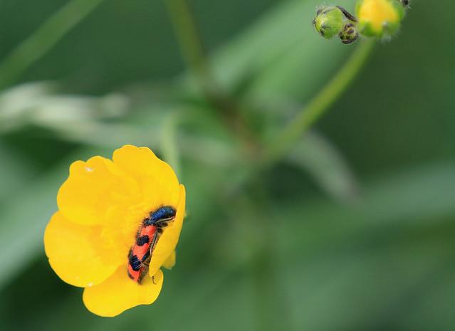 Clairon des ruches - Dompierre/Fribourg/CH_20190612_011-1