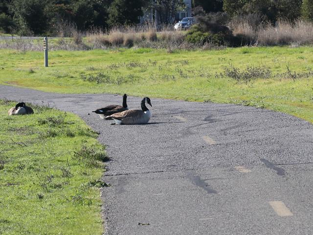 Canada geese 0133b