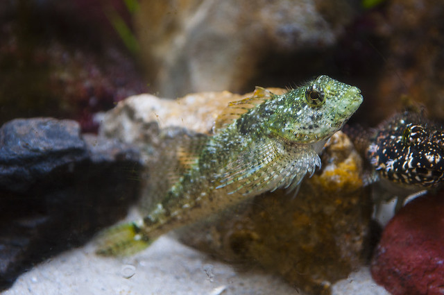 Clinocottus analis - Woolly Sculpin