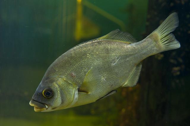 Rhacochilus toxotes - Rubberlip Surfperch