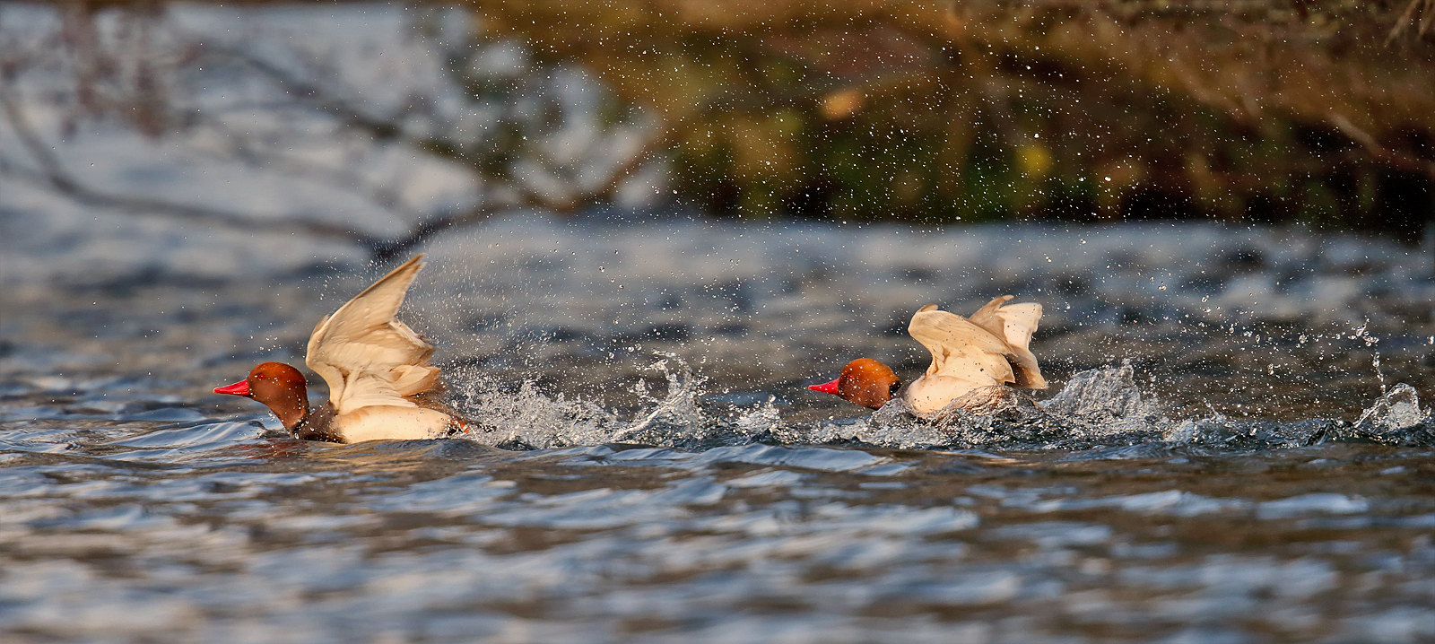 Red-crested Pochards - drakes - Captive origin