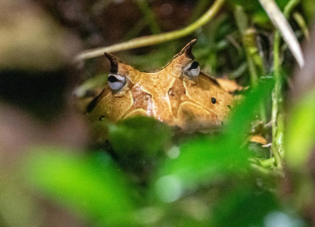 VA-amazonian horned frog