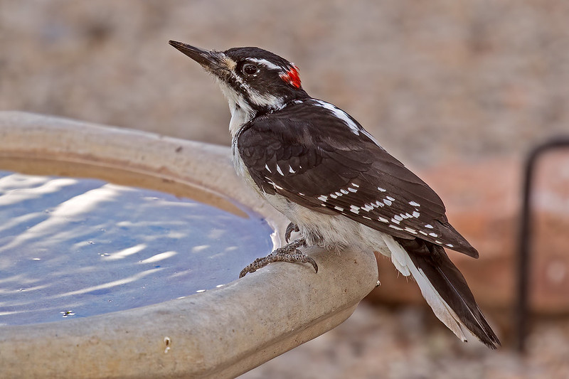 Hairy-Woodpecker-47-7D2-082719