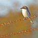 Flickr photo 'Loggerhead Shrike (Lanius ludovicianus)' by: Mary Keim.