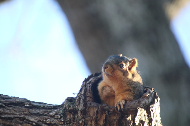 Fox Squirrels on a Mild Winter's Day in Ann Arbor at the University of Michigan 6/2020 209/P365Year12 4226/P365all-time (January 6, 2020)
