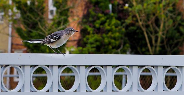 Moqueur polyglotte ---     Northern mockingbird   ----    Mimus polyglottos