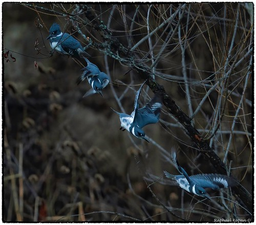 kingfisher raphaelkopanphotography nikon armlederpark 600mmf4evr 14xtciii cincinnati ohio