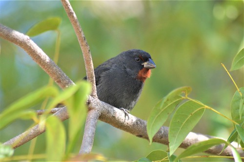 Lesser Antillean Bullfinch - Antigua 2 | by canadiankestrel