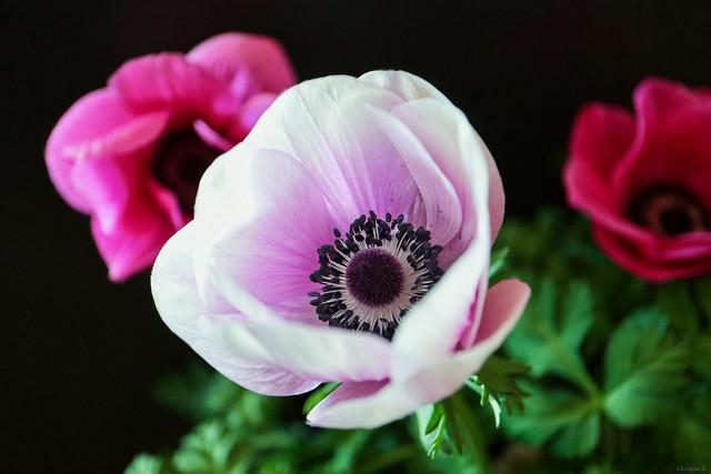 poppy anemones