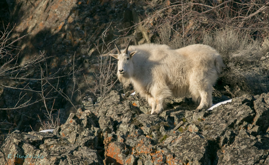 0P6A1168 Mountain Goat