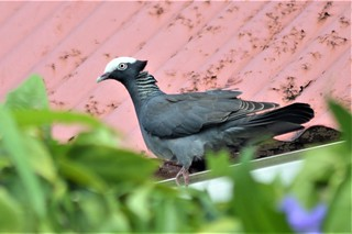 White-crowned Pigeon - Antigua 1 | by canadiankestrel