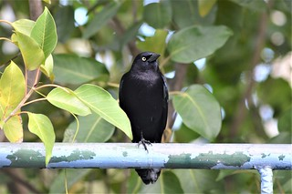 Carib Grackle - Antigua 2 | by canadiankestrel