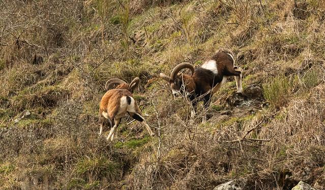 Petit conflit de rivalité entre deux mouflons mâles.