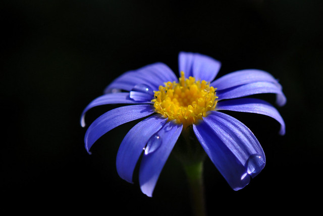 A blossom from the dark (Blue Felicia or Felicia Amelloides)