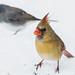 IMG_4605 female red cardinal