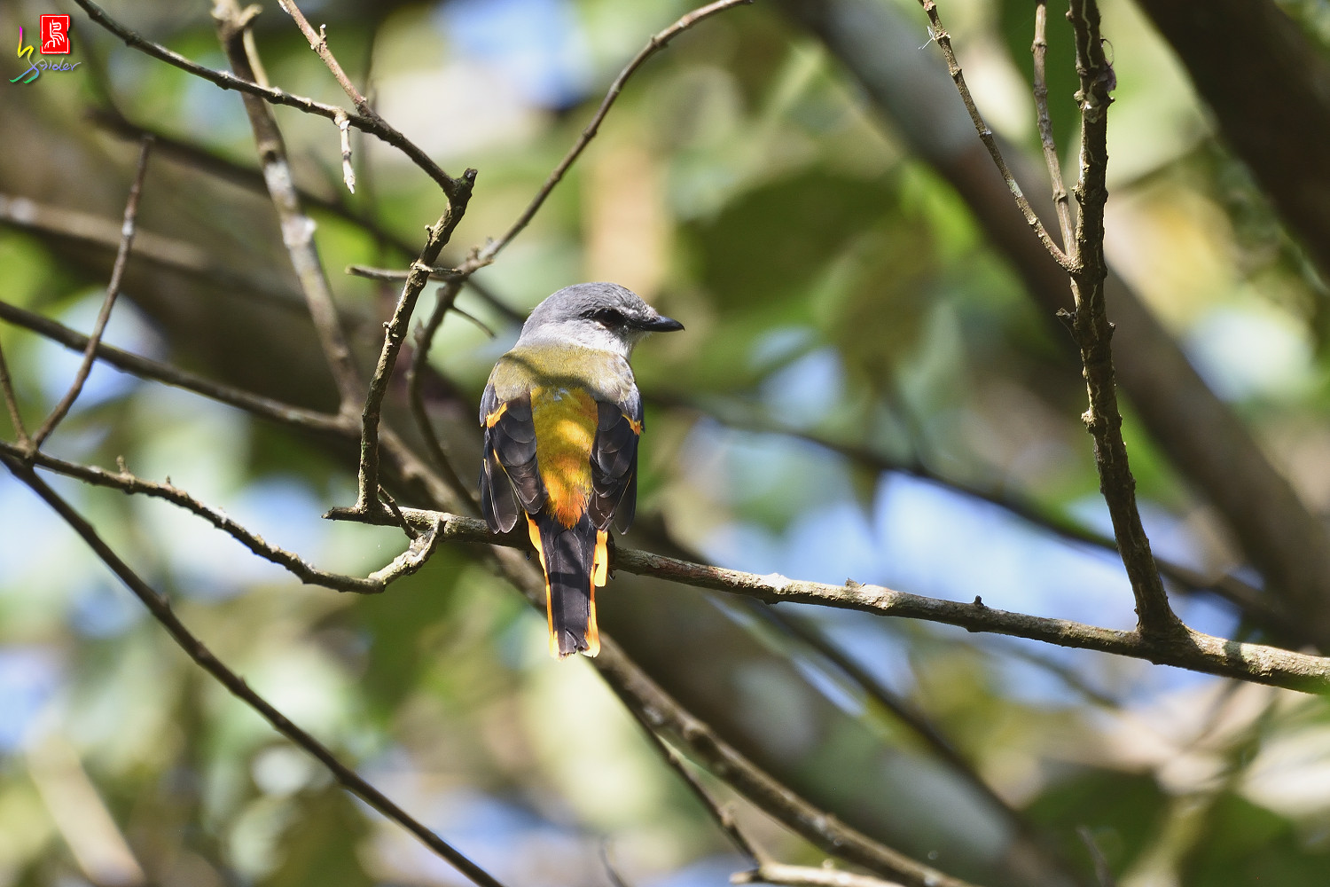 Grey-chinned_Minivet_0537
