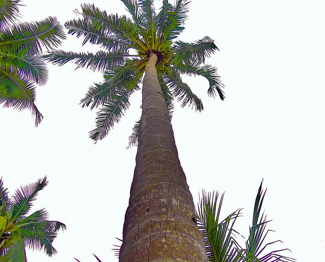 The most imposing tree of the tropical places. The high coconut tree.